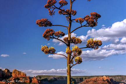 """Blooming Agave Sees On"" • Sedona, AZ • Photograph by Susie Reed"