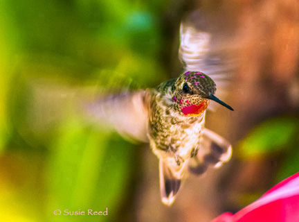"""Beauty in Motion"" • Humming Bird Photograph by Susie Reed"