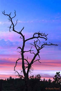 """Sunset Tree"" • Sedona, AZ Photograph by Susie Reed"